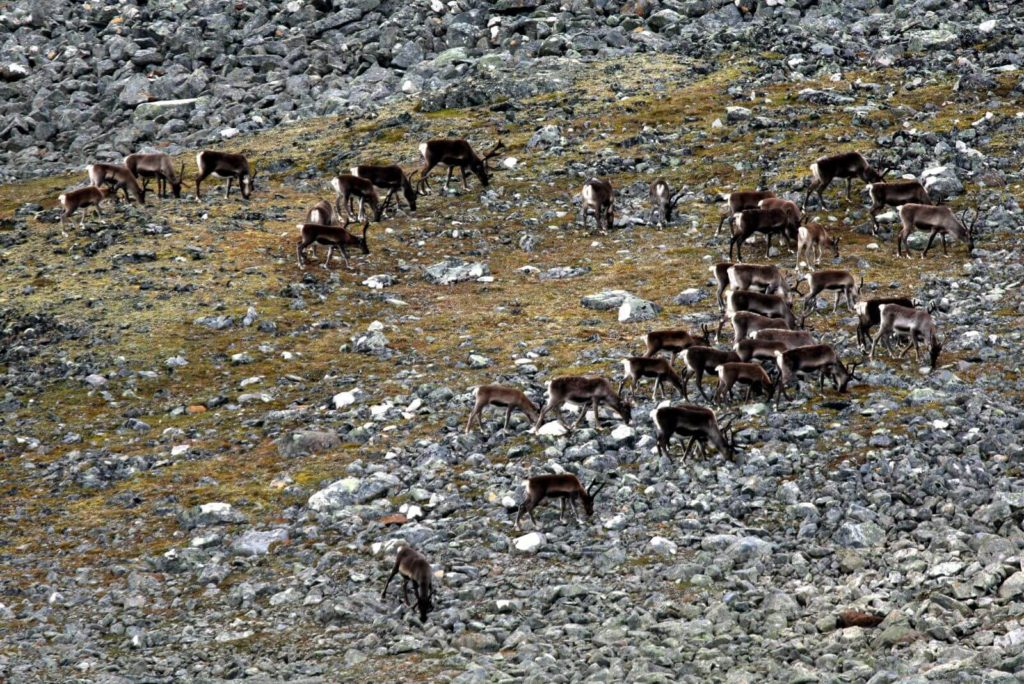 A small herd of reindeer